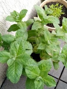 peppermint grown in a pot