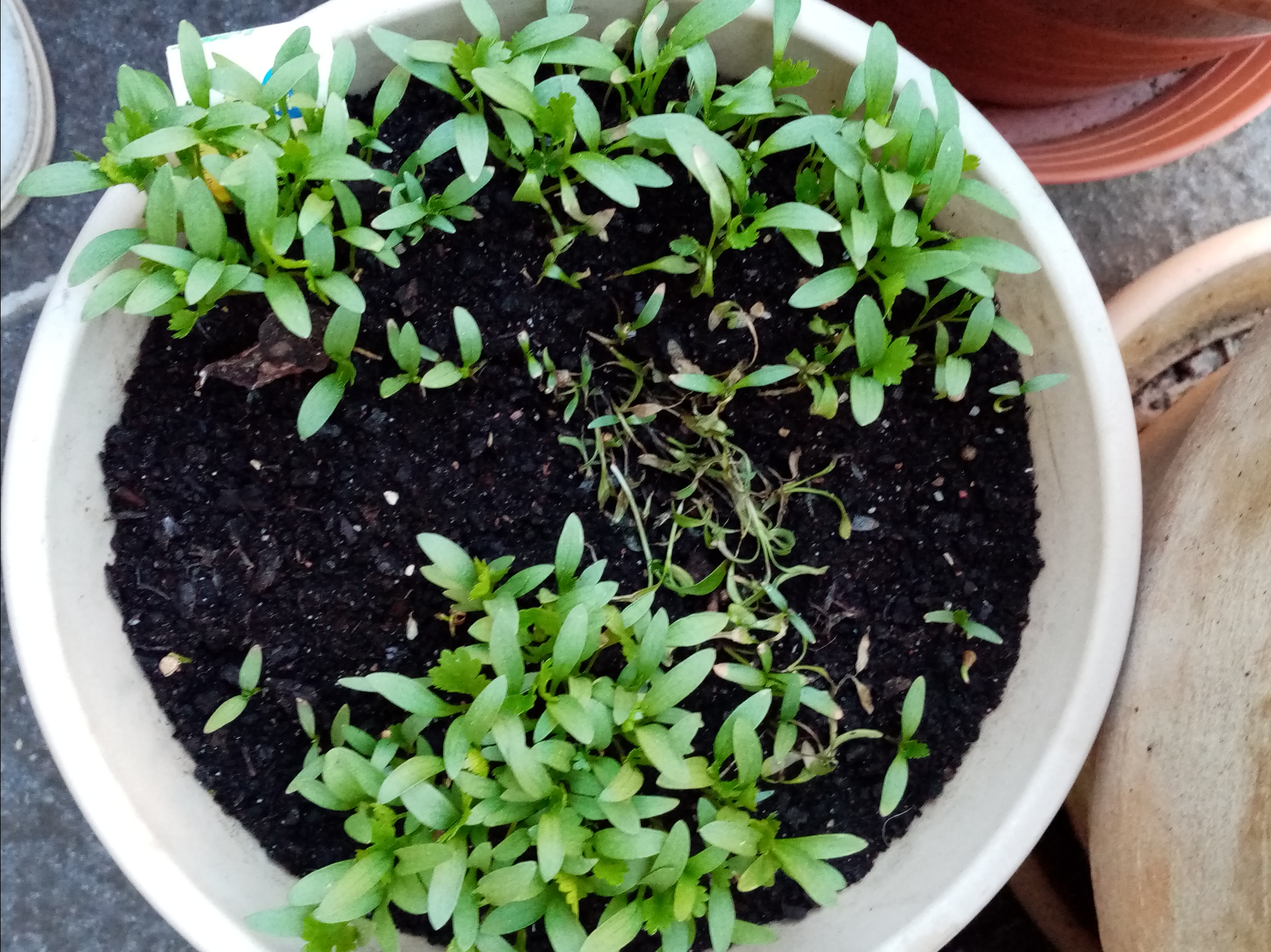 first leaves of coriander, grown in a pot
