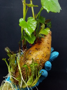 tuber of sweet potato with sprouts in a hand with blue glove, on a black background