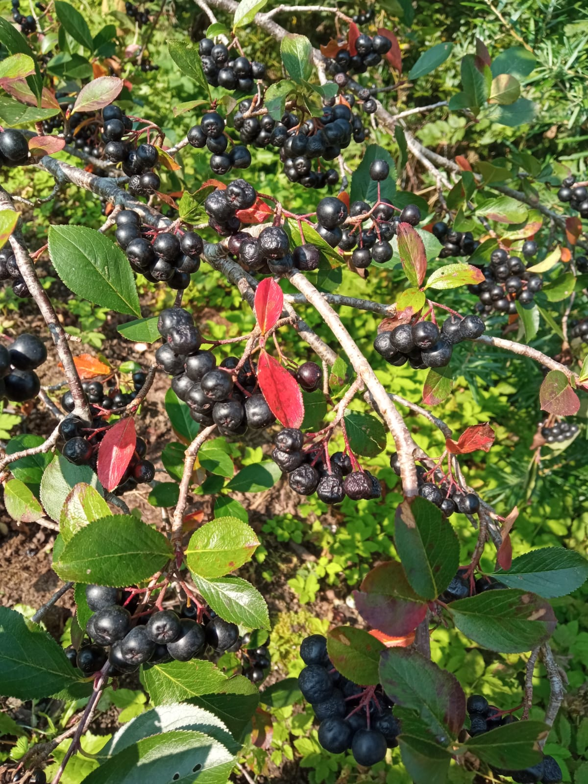 dark (black) berries on brunches