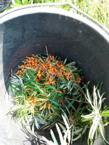orange berries with long leaves in a bucket