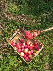 red apples in a wooden box with a hand-made tool to collect apples from a tree