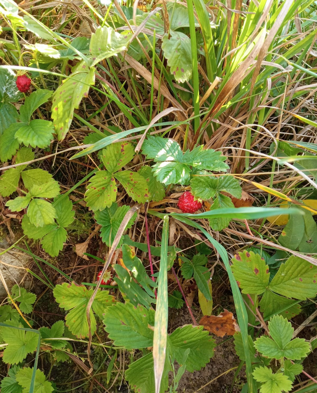 strawberry bush with berries among grass