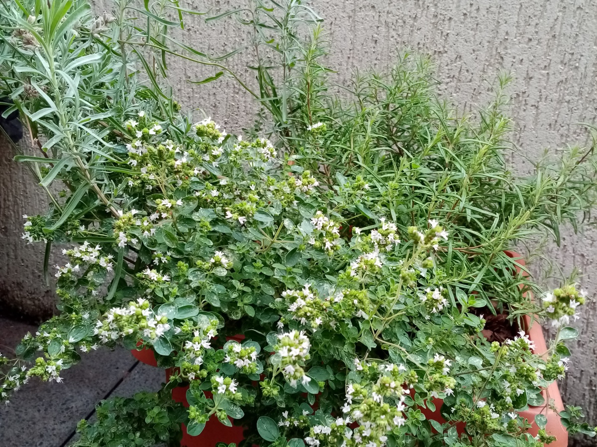 herbs in a big pot on a balcony