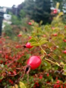 berry on a bush, bush background