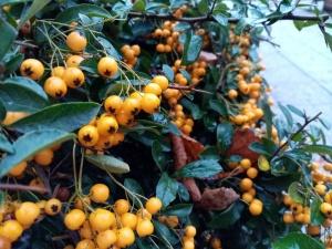 yellow berries on a bush