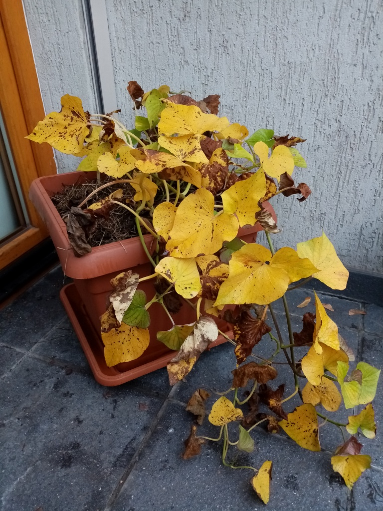 plant with yellow leaves in a square pot