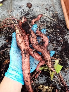 tubers with soil in a hand with blue glove