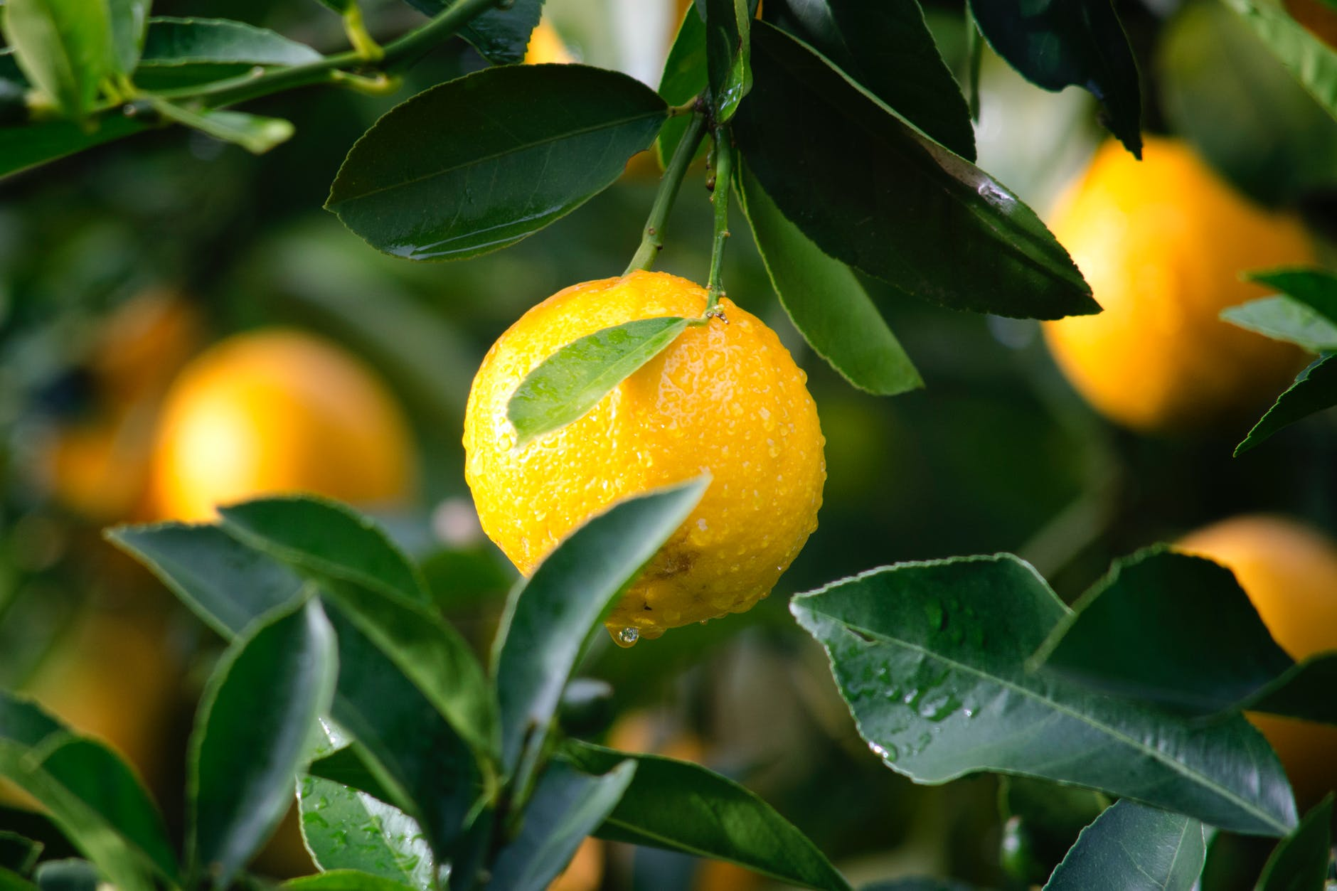 lemon fruit on a tree with green leaves around