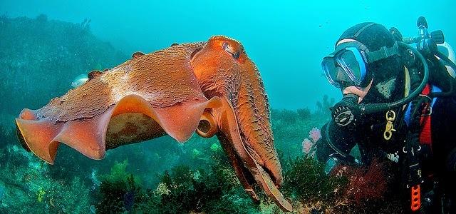 mollusk Sepia apama